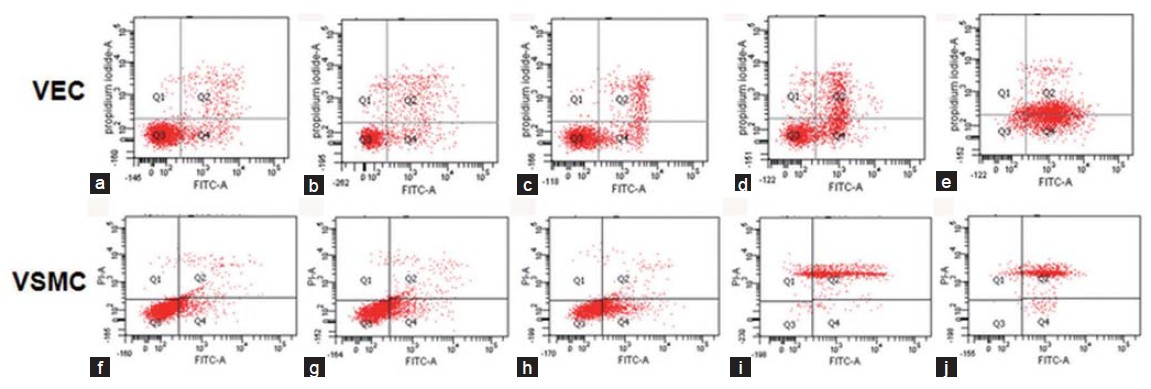 Figure 5: Effect of different concentrations of udenafil for 24 h on apoptosis in VEC and VSMC. Distributions of cells treated with different concentrations of udenafil displayed as dot plots: Viable cells (fluorescein isothiocyanate (FITC)/propidium iodide (PI)), apoptotic cells (FITC+/PI), secondary necrotic cells (FITC+/PI+). (a and f) Cells incubated with 0 μmol/l udenafil. (b and g) Cells incubated with 1 μmol/l udenafil. (c and h) Cells incubated with 10 μmol/l udenafil. (d and i) Cells incubated with 100 μmol/l udenafil. (e and j) Cells incubated with 1 mmol/l udenafil. A minimum of 10,000 events was counted per sample