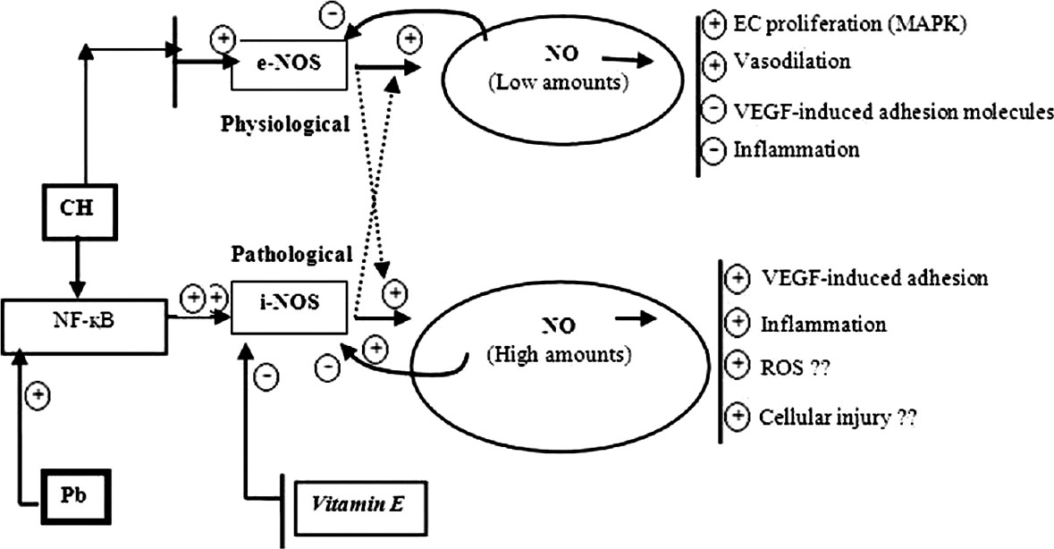 Figure 2: Regulation of nitric oxide by inducing various transcriptional factors and role of Vitamin E: Nitric oxide (NO) generation induced by either endothelial NO synthases (e-NOS) or inducible NOS (i-NOS) pathways. It also shows how excessive NO produce due to either Lead (Pb) or hypoxia exposure by stimulating i-NOS pathway. Hypoxia may induce either e-NOS or i-NOS activities. Lead (Pb) usually activates i-NOS via Nuclear factor kappa B (NF-κB) pathways. However, hypoxia if it takes NF-κB pathway it will induce more i-NOS activities than e-NOS. Vitamin E actually block i-NOS pathway