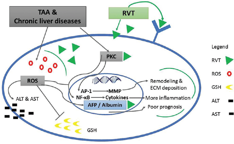 Figure 4: This has been proposed by our group as a possible explanation for RVT effects against liver fibrosis. RVT is a lipophilic compound; it can readily cross the cell membrane and bind to intracellular components. It can also exert its action through binding to specific receptors. RVT act as a free radical scavenger; thus, it prevents the detrimental effect of ROS on hepatocytes. It may also bind to PKC domains and AFP enhancer region and returns them back to their normal activities. TAA = Thioacetamide, RVT = Resveratrol, ROS = Reactive oxygen species, GSH = reduced glutathione, ALT = Alanine aminotransferase, AST = aspartate aminotransferase, PKC = protein kinase C, AP-1 = Activator protein 1, MMP = Matrix metalloproteinase, AFP = Alpha 1-fetoprotein, ECM = Extracellular matrix component, NF-κB = Nuclear factor kappa B